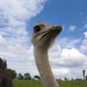 Ostrich High In The Sky Art Print