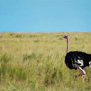 Ostrich On The Run Art Print