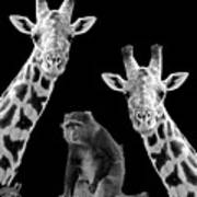 Our Wise Little Friend - Monkey And Giraffes In Black And White Art Print