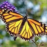 Outstretched Monarch Art Print
