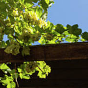 Overhead Grape Harvest - Summertime Dreaming Of Fine Wines Art Print