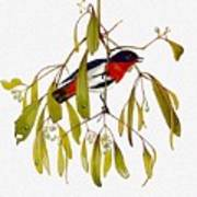 pa TonyOliver AustralianBirds 13 MistletoeBird Tony Oliver Art Print