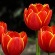 Pacific Northwest Tulips 5 Art Print