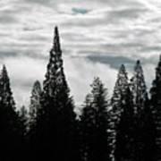 Pacific Pines Art Print