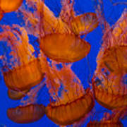Pacific Sea Nettle Cluster 1 Art Print