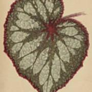 Painted Leaf Begonia Art Print