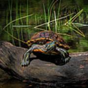 Painted Turtle Sunning Itself On A Log Art Print