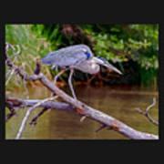Painting Blue Heron Oak Creek Art Print