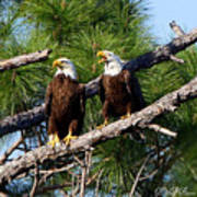 Pair Of American Bald Eagle Art Print