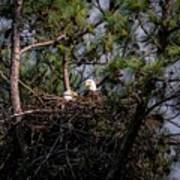 Pair Of Bald Eagles In Nest Art Print