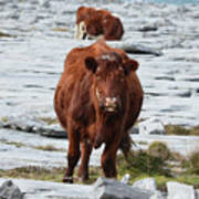 Pair Of Cows Grazing On The Burren In Ireland Art Print