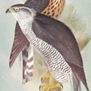 Pair Of Goshawks Art Print