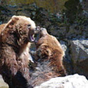 Pair Of Grizzly Bears Biting At Each Other Art Print