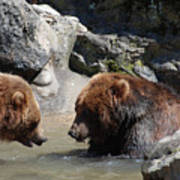 Pair Of Grizzly Bears Wading In A Shallow River Art Print