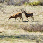 Pair Of Mule Deer Grazing At Chatfield Art Print