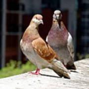 Pair Of Pigeons Art Print