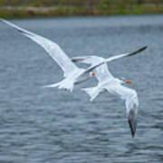 Pair Of Terns Art Print