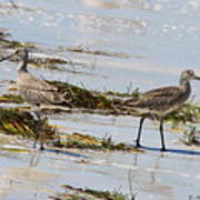 Pair Of Willets Art Print