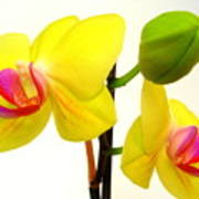 Pair Of Yellow Orchids Art Print