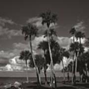 Palm Group In Florida Bw Art Print