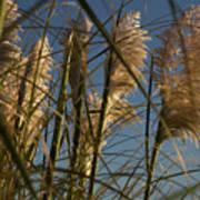 Pampas Grass At Sunset Art Print