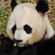 Panda Bear Eating Some Yummy Bamboo Shoots Art Print