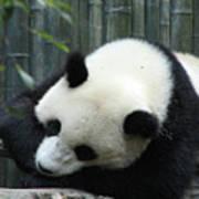 Panda Bear Sleeping On A Fallen Tree Branch Art Print