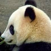 Panda Snack Art Print
