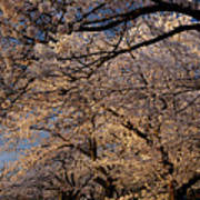 Panorama Of Forest Of Sakura Japanese Flowering Cherry Trees Wit Art Print