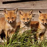Panoramic Fox Kits Art Print
