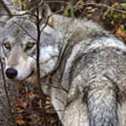 Panoramic Gray Wolf Yukon Art Print