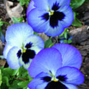 Pansies 0823 Art Print