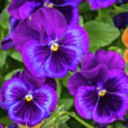 Pansies In Purple And Blue Art Print