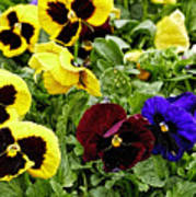 Pansies Of A Different Color Art Print