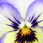 Pansy 01 - Thoughts Of You Art Print