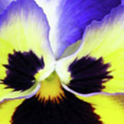 Pansy 10 - Thoughts Of You Art Print