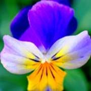 Pansy Art Print by Kathleen Struckle