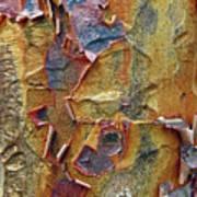 Paperbark Maple   Art Print