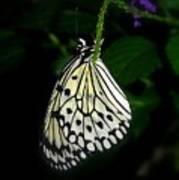 Paperwhite Butterfly Art Print