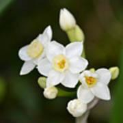Paperwhites - Narcissus Papyraceus Art Print