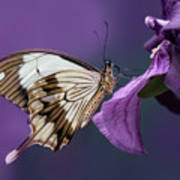 Papilio Dardanus On Violet Flowers Art Print