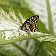 Papilio Demoleus Art Print