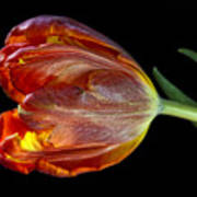 Parrot Tulip 6 Art Print