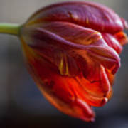 Parrot Tulips 16 Art Print