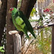 Parrots. Art Print
