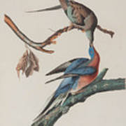 Passenger Pigeon Art Print