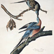 Passenger Pigeon Art Print by John James Audubon