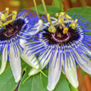 Passion Flower Power Art Print