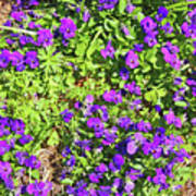 Patch Of Pansies Art Print