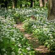 Path Through A Deciduous Forest, Wild Garlic Art Print